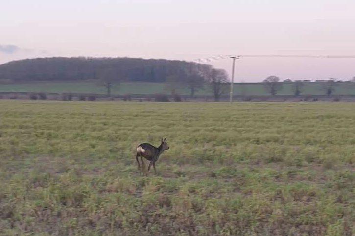 Roe Deer Release